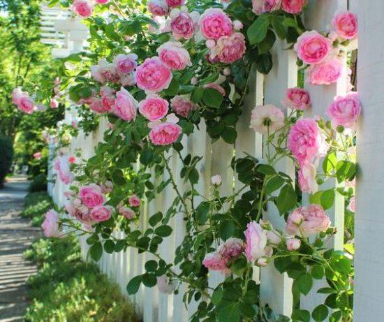 Плетистая роза: роскошное и неприхотливое украшение вашего участка