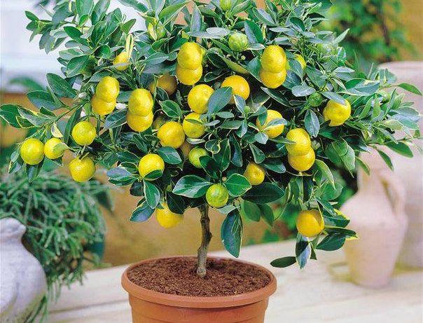 Декоративные комнатные лимоны в доме: уход, посадка, особенности